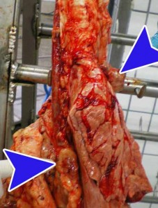 Increased size of mediastinal lymph nodes (arrows). Image courtesy of the official veterinary services of the ASPB.