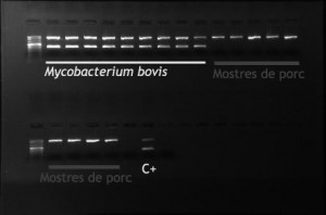 PCR of isolated mycobacteria colonies. The banding pattern observed indicates that the growth obtained from swine samples corresponds to non tuberculous mycobacteria (only upper band). Mycobacterium bovis: culture samples from bovine tuberculosis affected cattle (double band). C +: positive control.
