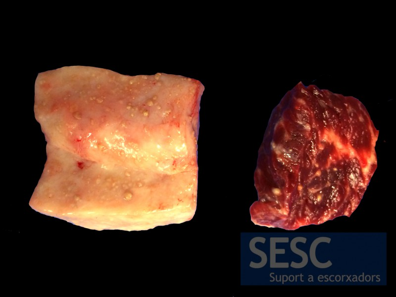 Whitish nodular lesions in the fat (left) and muscle tissue (right).