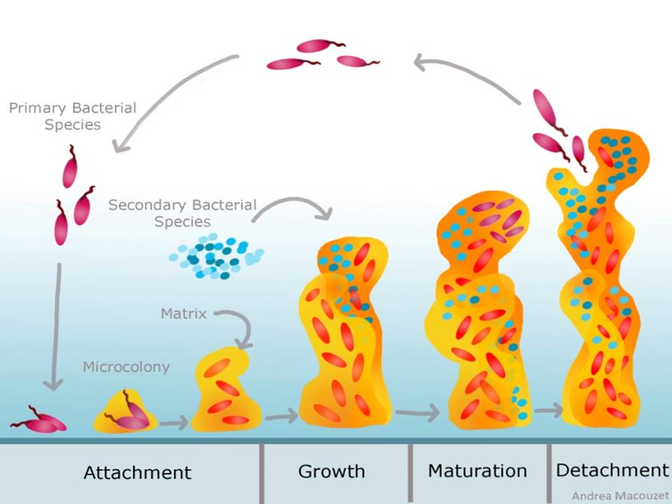 Bacterial biofilms: why should we care? | CReSA & the city blog