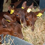 Goats, domestic reservoirs of bovine tuberculosis