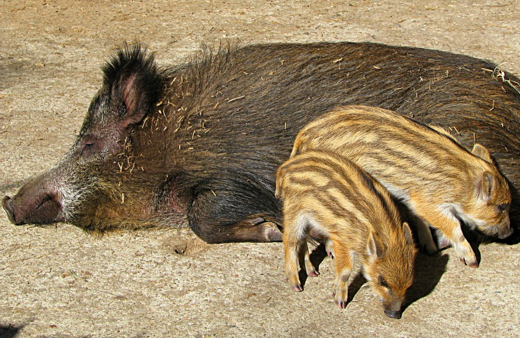 Wild boars act as ASFV reservoirs.