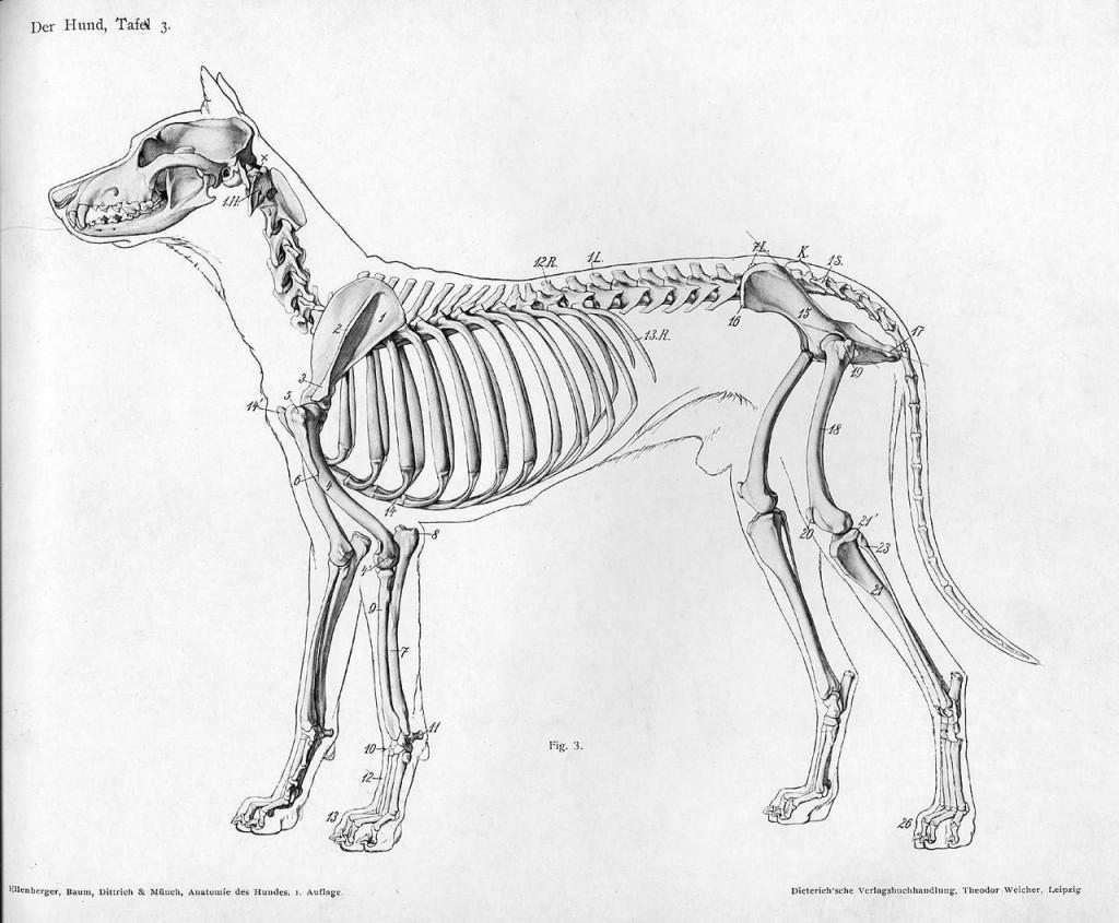 1280px-Dog_anatomy_lateral_skeleton_view