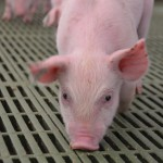 The use of antibiotics in pig farms may endanger public health? Study of the emergence of resistance.