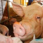 Senecavirus A: una infecció emergent del porc que causa malaltia vesicular i mortalitat del garrí?