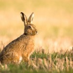The European hare (Lepus europaeus) as a potential wild reservoir for ruminant pestiviruses.