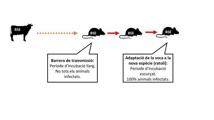 Figura 1: Adaptació de prions a una nova espècie. Llegenda: les fletxes signifiquen inoculacions intracerebrals. Taronja: transmissió ineficient. Vermell: transmissió eficient.
