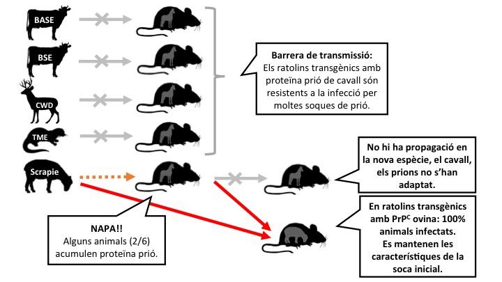Figura 2: Alguns dels experiments realitzats amb ratolins transgènics que expressen la proteïna prió de cavall. L'Scrapie és capaç de propagar-se en aquests ratolins, però sense adaptar-s'hi. En canvi reté la capacitat de infectar de forma eficient a ratolins que expressen la proteïna prió d'ovella. Llegenda: les fletxes signifiquen inoculacions intracerebrals. Gris: no hi ha transmissió. Taronja: transmissió ineficient. Vermell: transmissió eficient.