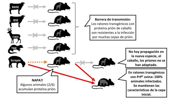 Figura 2: Algunos de los experimentos realizados con ratones transgénicos que expresan la proteína prión de caballo. El Scrapie es capaz de propagarse en estos ratones, pero sin adaptarse. En cambio retiene la capacidad de infectar de forma eficiente en ratones que expresan la proteína prión de oveja. Leyenda: las flechas significan inoculaciones intracerebrales. Gris: no hay transmisión. Naranja: transmisión ineficiente. Rojo: transmisión eficiente (haz clic en la imagen para hacerla más grande).