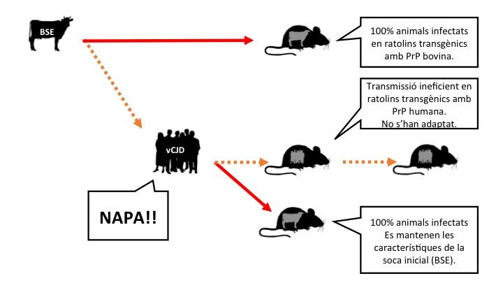 Figura 3: Hipòtesi, basada en resultats d'experiments amb ratolins transgènics que expressen la proteïna prió de vaca o de persona i que postula que la BSE no s'ha adaptat a l'espècie humana, però és capaç d'amplificar i acumular-s'hi. vCJD: Variant de la malaltia de Creutzfeldt Jakob (causada en persones per la ingesta de prions de vaca boja). Llegenda: les fletxes signifiquen inoculacions intracerebrals. Taronja: transmissió ineficient. Vermell: transmissió eficient (fes clic a la imatge per fer-la més grossa).