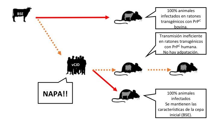Figura 3: Hipótesis, basada en resultados de experimentos con ratones transgénicos que expresan la proteína prión de vaca o de persona y que postula que la BSE no se ha adaptado a la especie humana, pero es capaz de amplificar y acumularse se. vCJD: Variante de la enfermedad de Creutzfeldt Jakob (causada en personas por la ingesta de priones de vaca loca). Leyenda: las flechas significan inoculaciones intracerebrales. Naranja: transmisión ineficiente. Rojo: transmisión eficiente (Haz clic en la imagen para hacerla más grande).