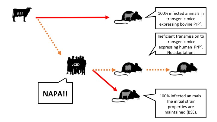 Figure 3: Hypothesis, based on results of experiments with transgenic mice expressing cattle or human prion protein and postulating that BSE has not adapted to the human species, but is able to amplify and accumulate itself. vCJD: Variant of Creutzfeldt Jakob disease (caused in people by ingestion of prions of mad cow). Legend: arrows represent intracerebral inoculations. Orange: inefficient transmission. Red: efficient transmission (click on the image to make it bigger).