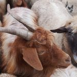 Of goats, sheep and tuberculosis