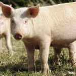 A significant step forward in the fight against african swine fever