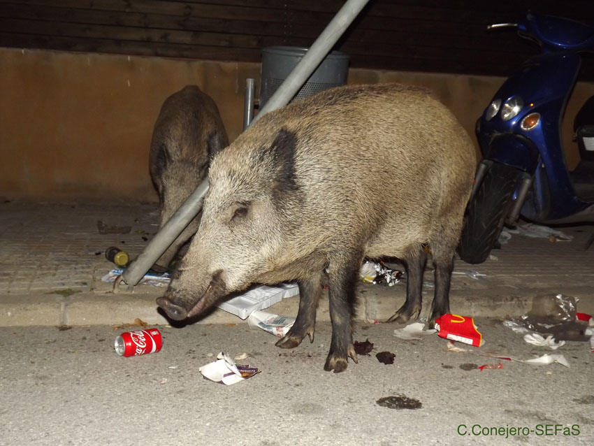Boars in the city. Photo: SEFas