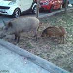 Streptococcus suis in wild boars from Barcelona: a potential public health risk