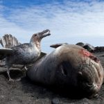 Pathogens scattered by humans in polar latitudes threaten Antarctic wildlife