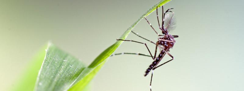 Aedes aegypti. ECDC