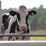 New diagnostics to detect contagious mastitis pathogens in different niches of cow udder