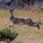 IRTA coordinates the group 'MIXOlepus' to face mixomatosis in the hare