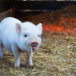 Descrita por primera vez la dinámica de la infección por circovirus porcino tipo 3 (PCV-3) en cuatro granjas españolas