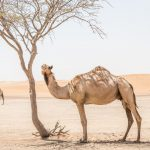 Proved an effective vaccine for MERS-CoV in camels