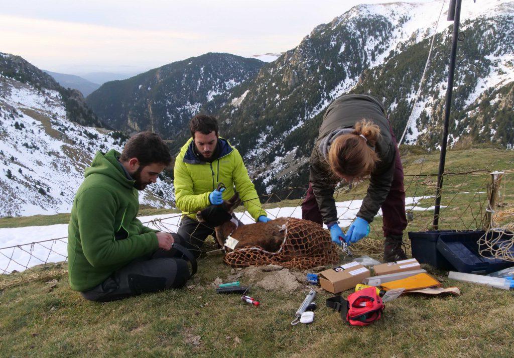 El equipo científico trabajando con un ejemplar de rebeco. Foto: IRTA-CReSA (CC BY-NC 2.0)