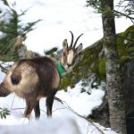 Chamois populations from Oriental Pyrenees resist the Border Disease virus