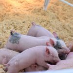 Persistance of Classical Swine Fever in piglets differs according to their age