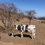 El IRTA-CReSA participa como asesor externo de un proyecto de vacunación de bovinos contra la tuberculosis en Chile