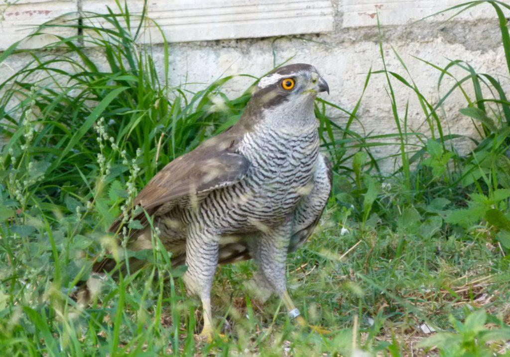 Exemplar d'astor (Accipiter gentilis). Autor: Centre de Fauna de Torreferrussa