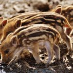 Detection of a transboundary outbreak of an atypical tuberculosis variety in wild boar