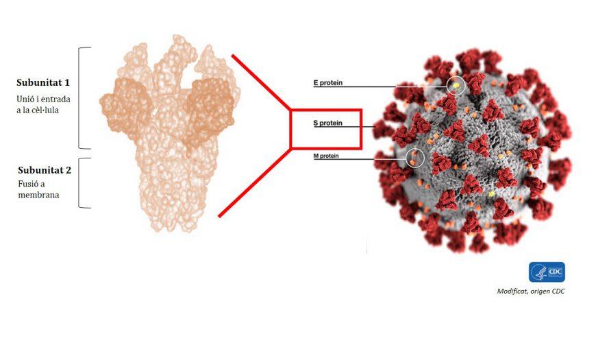 Figura 1.La subunitat 1 de la proteïna S és la més immunogènica i és la part mitjançant la qual el virus s'uneix a una cèl·lula per infectar-la. Els científics busquen una zona conservada d'aquesta subunitat ―és a dir, una part que estigui present en diferents soques o tipus de coronavirus―, que és la regió més útil de cara a desenvolupar una possible vacuna universal per a tots els coronavirus.
