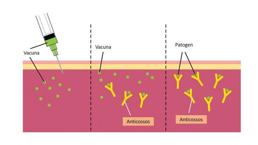 Figura 2.Una vacuna pot contenir el virus sencer atenuat o bé una porció del virus, com per exemple la proteïna S, que està a l'embolcall dels coronavirus.