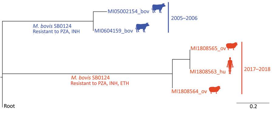 Relació filogenètica entre les soques aïllades en el pacient, les ovelles i els bovins.