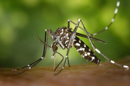 File:CDC-Gathany-Aedes-albopictus-1.jpg